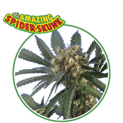 hero seeds_spider skunk pianta