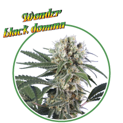 hero seeds_wonder black domina pianta