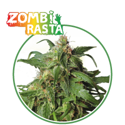 hero seeds_zombi rasta pianta